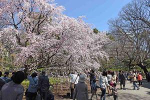 しだれ桜と花見客1